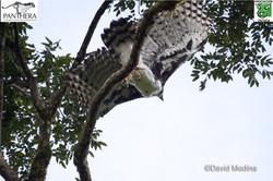 Harpy Eagle in flight.