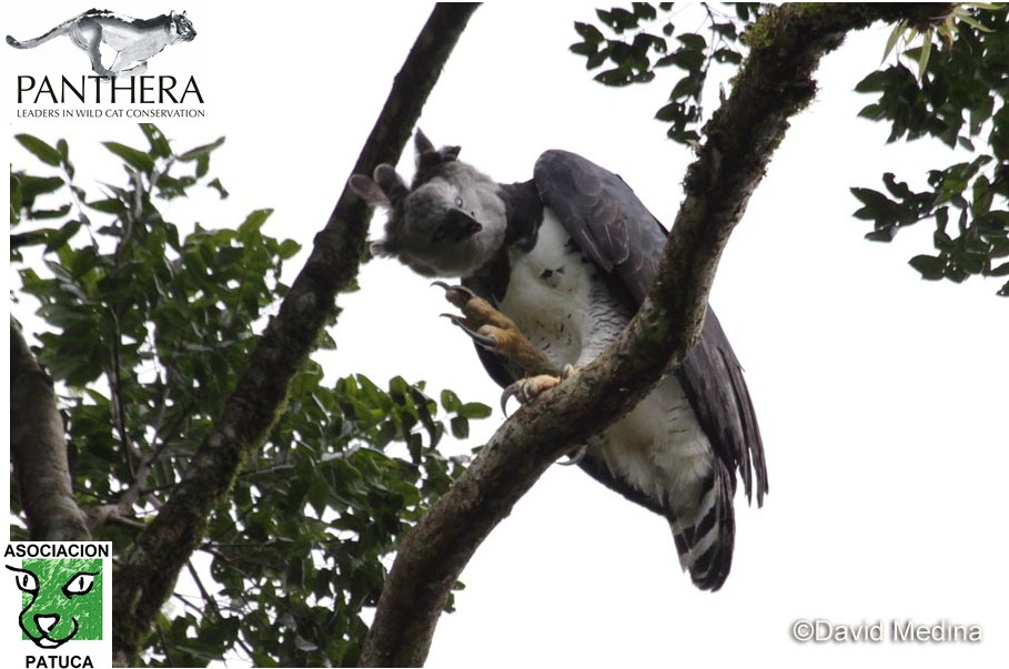 Harpy Eagle near its nest