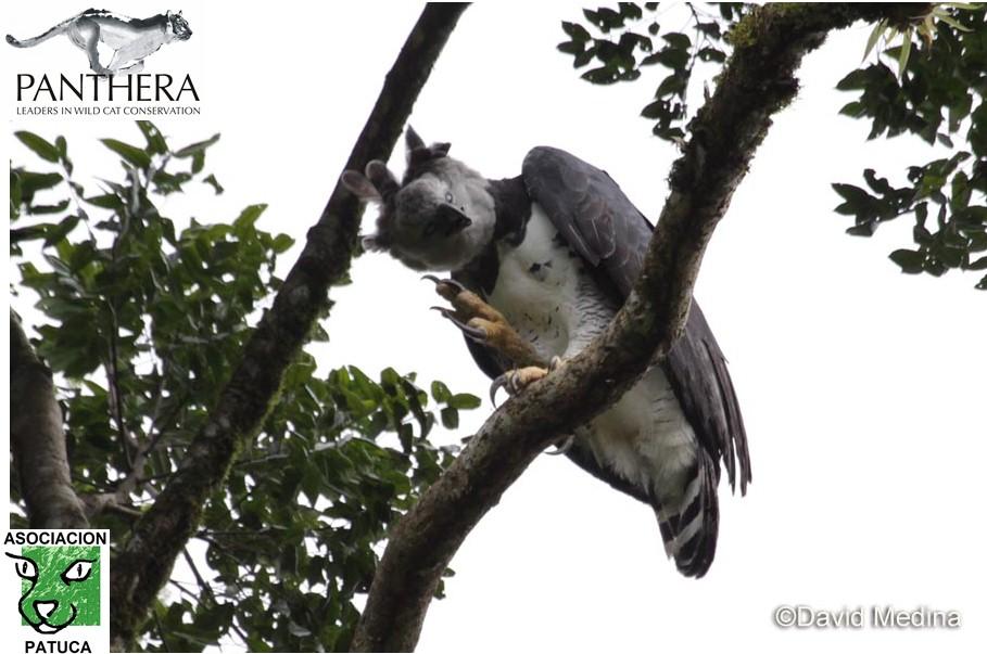 Harpy Eagle near its nest