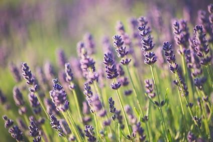 Perennials - Lavendar