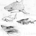 Etude requins