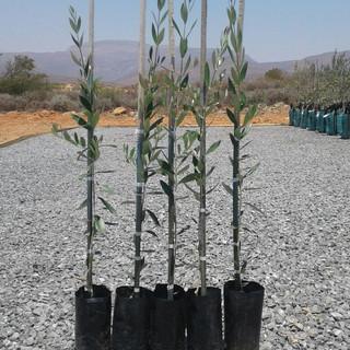 De Hut Olive Trees