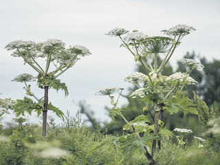 Safety fears as giant hogweed spreads from golf course