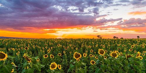 Sunflower Sunset, Queensland