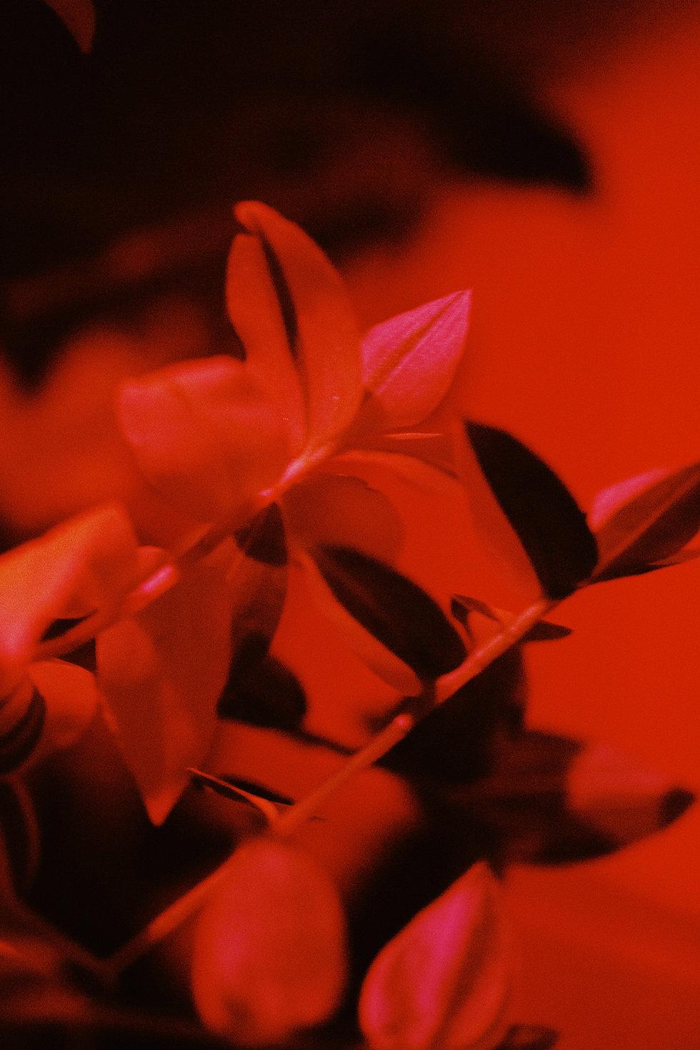 Flower in red lighting