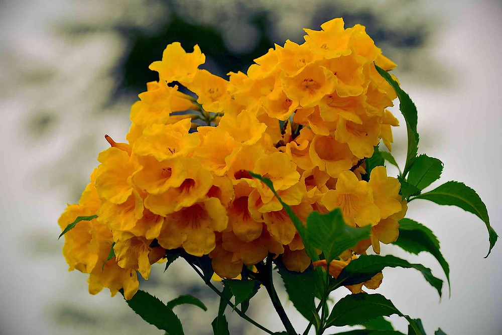 makulís amarillo, árbol nativo de Yucatán.