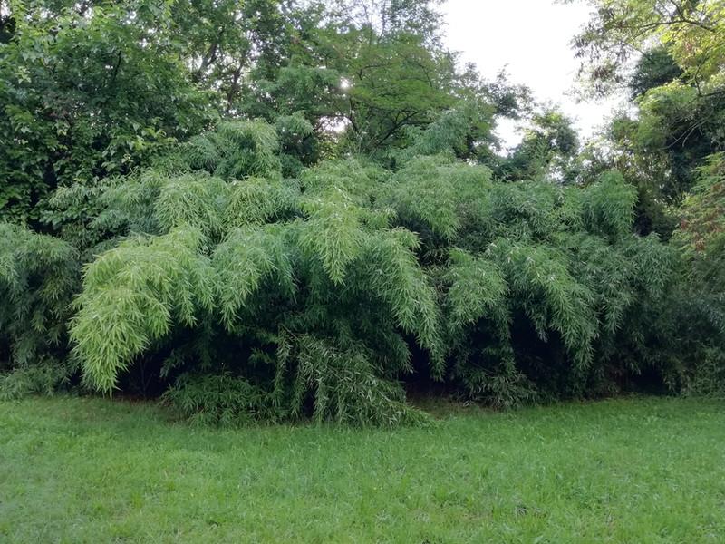 Sansone - Bambù