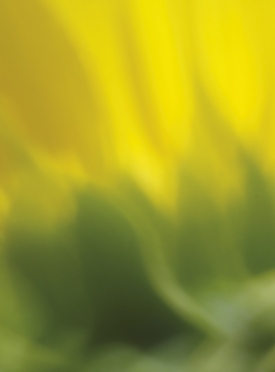 SunflowerFlames