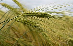 Barley(c)JamesHuttonInstitute.jpg