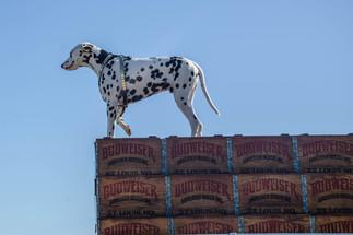 Anheuser-Busch Dalmation