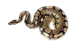 Cristopher Cristia Snake Breeder