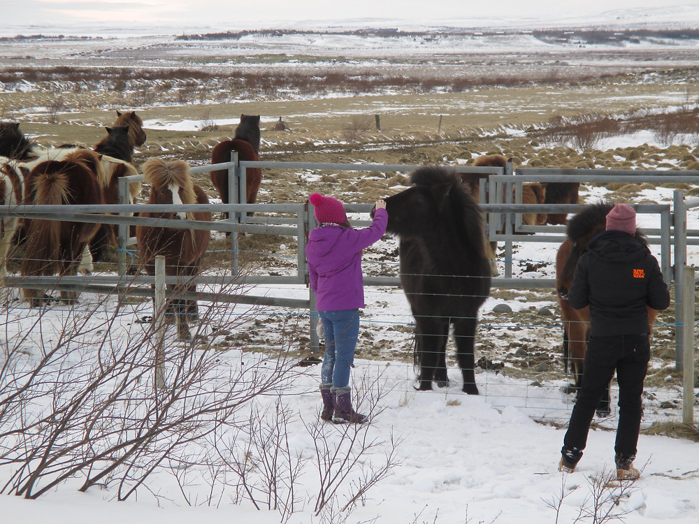 Meeting the Icelandic horses at the road side