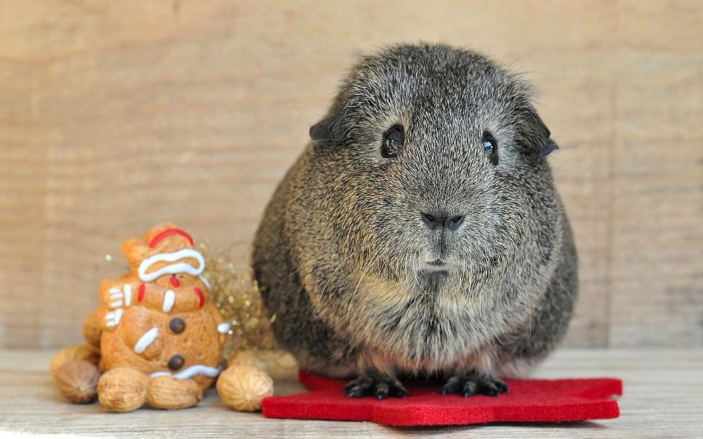 Christmas guinea pig