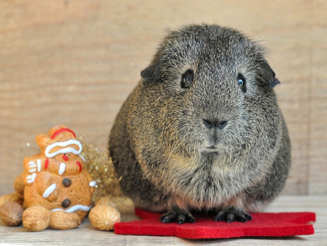 Christmas gifts for guinea pig lovers and owners