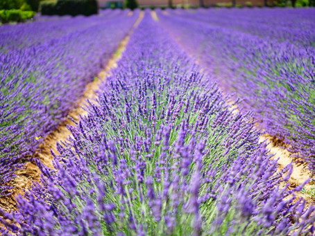 Best time to visit the lavender fields of Provence