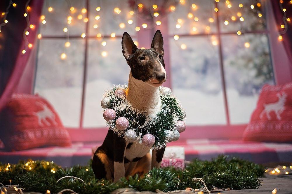 Dog waiting for Christmas