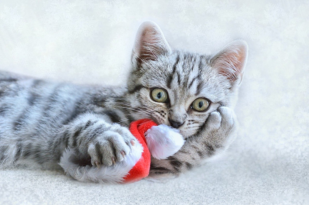 Cat playing with santa hat at Christmas