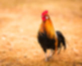 Fire rooster, Hungary