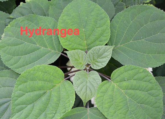 Hydrangea Leaf Veiners