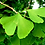 Thumbnail: Ginkgo biloba leaf veiners - Variation 2