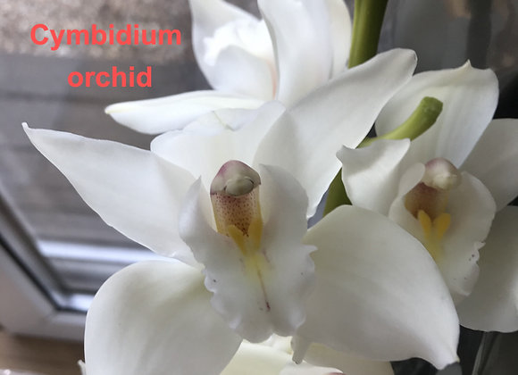 Cymbidium Orchid Set