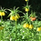 Thumbnail: Fritillaria Imperialis Veiners