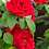 Thumbnail: Rose leaf and petal veiners
