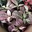 Thumbnail: Fittonia Leaf Veiners