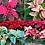 Thumbnail: Poinsettia veiners