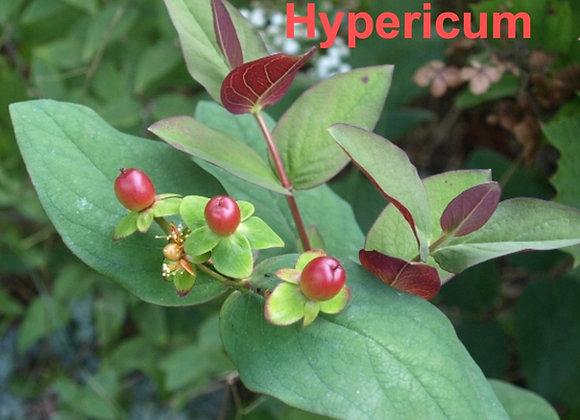 Hypericum Leaf Veiners