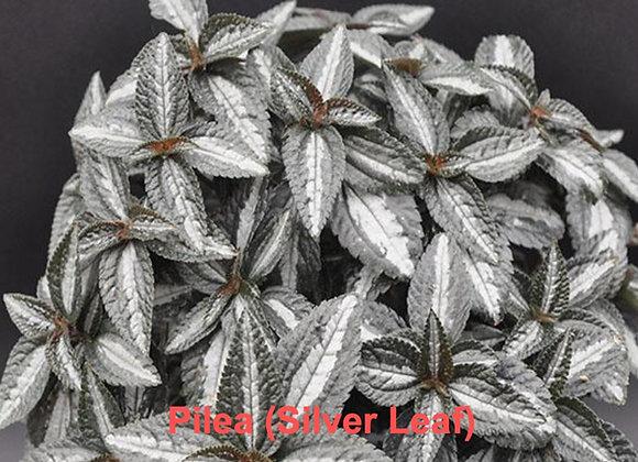 Pilea Leaf Veiners (Silver Leaf)