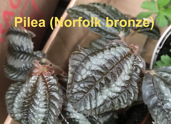 Pilea Leaf Veiners (Norfolk Bronze)