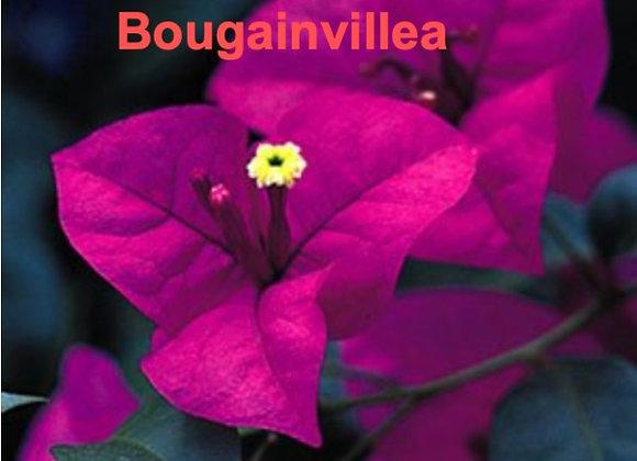 Bougainvillea Veiners