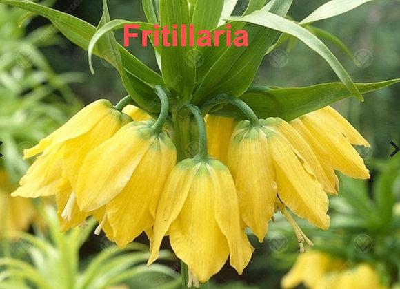Fritillaria Imperialis Veiners