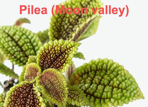 Pilea Leaf Veiners (Moon Valley)