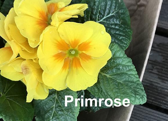 Primrose Leaf Veiners