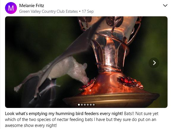 Bat at the bird feeder 06