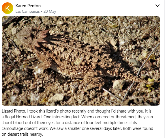 Regal Horned Lizard 5 2020.