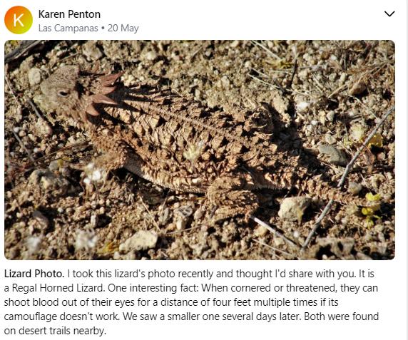 Regal Horned Lizard 5 2020.