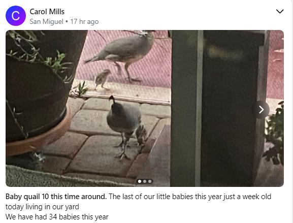 Baby quail 6 2020.PNG