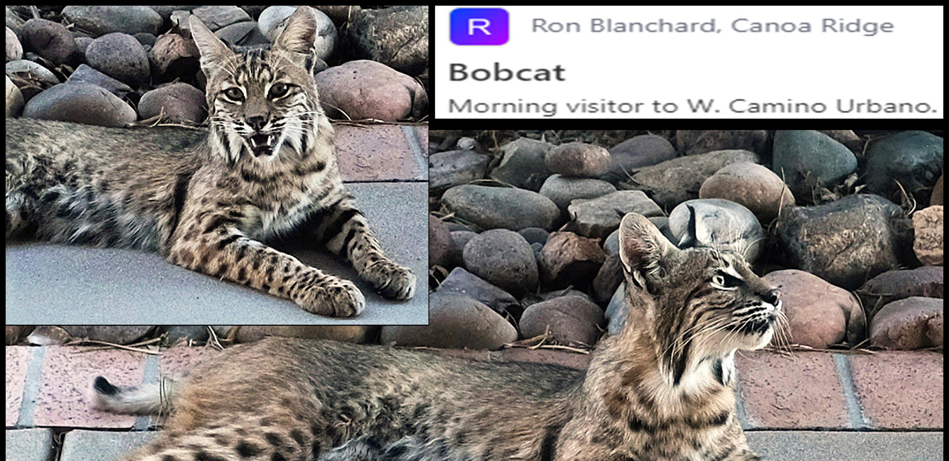 Backyard bobcat  05 2020