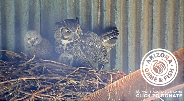 AZFGD Great Horned Owl nest w owlettes 2