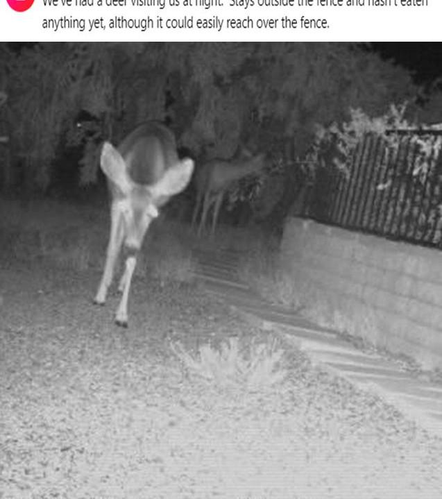 Deer at night 6 2020.jpg