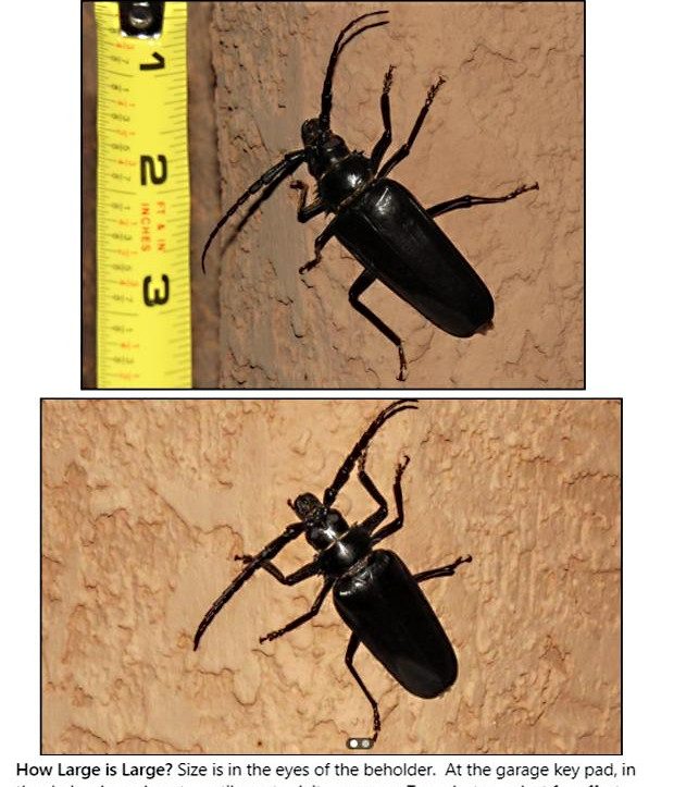 Ed Freedman Palo Verde Beetle 8 20.jpg