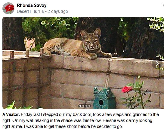 Rhonda Savoy Bobcat Visitor July 2020 Ne