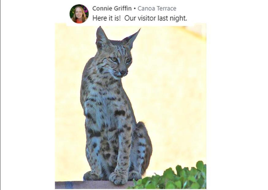 Bobcat on Fence 5 2020