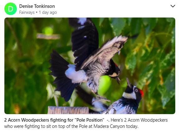 Woodpedkers fighting on