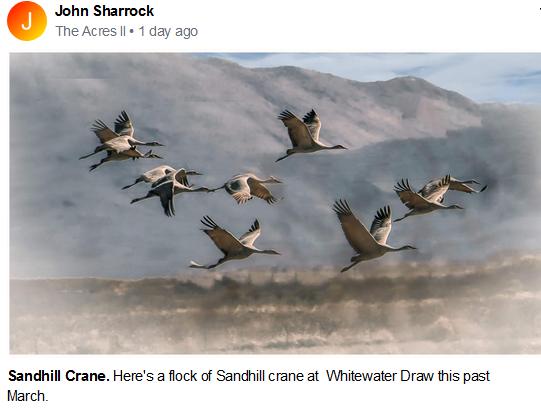 John Sharrock Sandhill Crane July 2020.P
