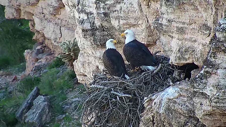 Bald Eagles in nest.jpg