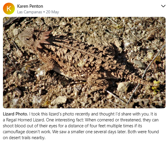 Regal Horned Lizard 5 20.PN